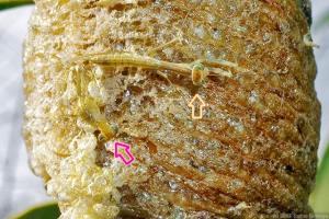 脱皮中のオオカマキリ幼虫