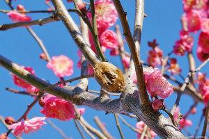 ウメの木で見たハラビロカマキリ卵鞘