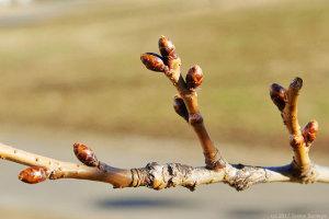 サクラの冬芽