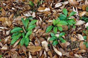 落ち葉の中の若草