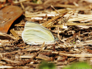 早生まれの蝶