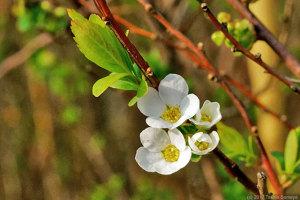 ユキヤナギの花開く