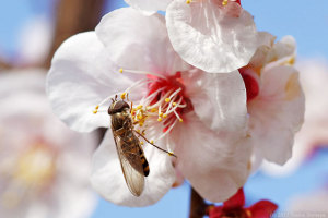 ウメの花に来たホソヒラタアブ