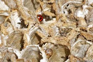 アシナガバチの巣にナナホシテントウが・・