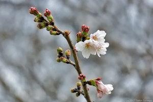 僅かに花開いたサクラ