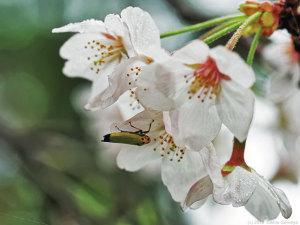 サクラの花にいたツマグロオオヨコバイ