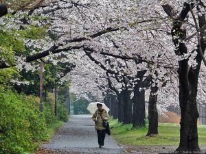 サクラ並木は雨