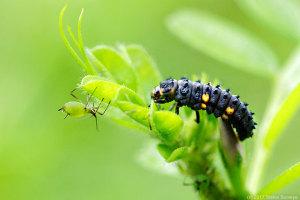 アブラムシを狙うナナホシテントウ幼虫