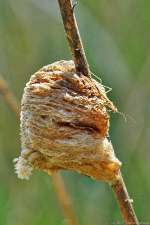 オオカマキリ卵鞘