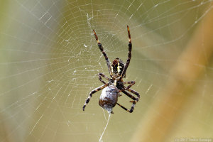 蜘蛛に捕らえられたマルカメムシ