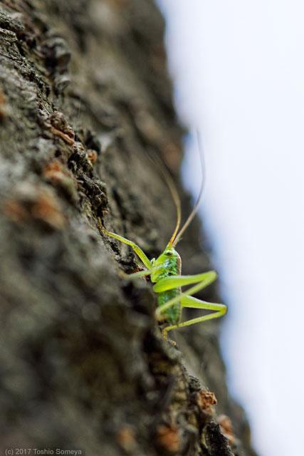 樹上にいたヤブキリ幼虫