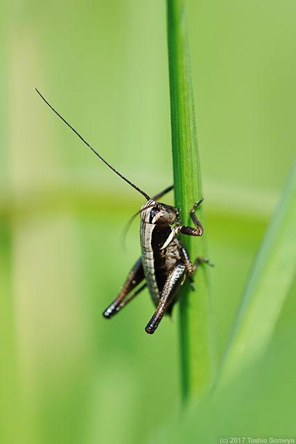 ヒメギスの幼虫