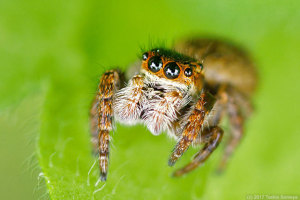 ハエトリグモの目