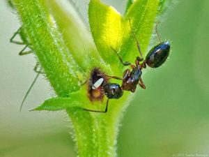 花外蜜腺に惹かれるアリ
