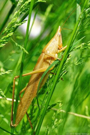 クビキリギス成虫・褐色タイプ