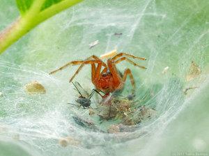 クサグモ幼体の網の中