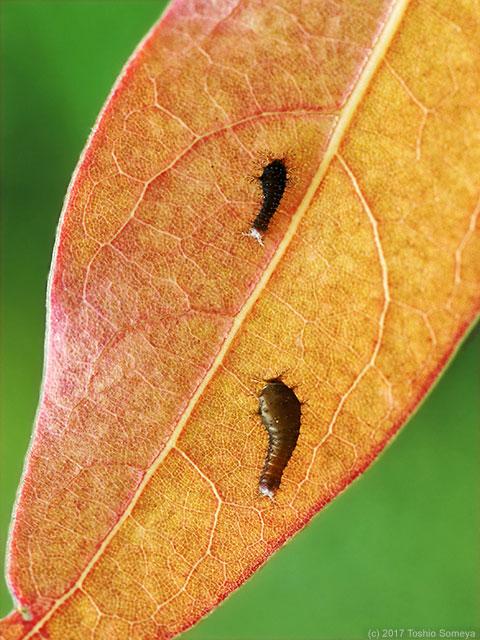 アオスジアゲハの若齢幼虫
