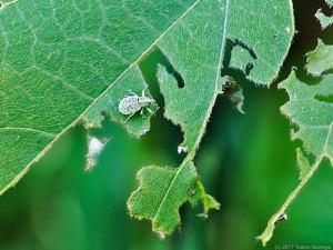 クズの葉に盛大な食い痕が・・