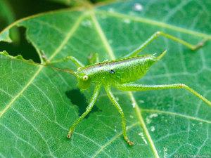 ヤブキリのメス幼虫