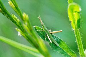 ショウリョウバッタ緑色型幼虫