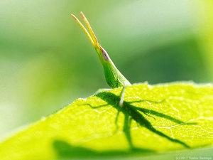 ショウリョウバッタ幼虫