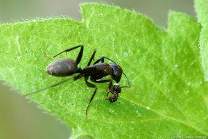 アリの共食い