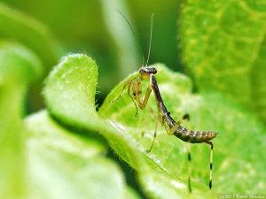 ハラビロカマキリの幼虫