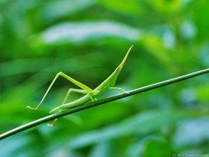 ショウリョウバッタ・緑色型幼虫