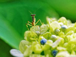 アジサイに止まるハラビロカマキリ幼虫