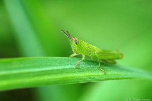 コバネイナゴの幼虫