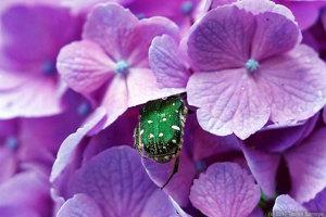 アジサイの花とコアオハナムグリ