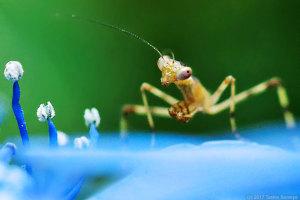 ハラビロカマキリ幼虫の睨み