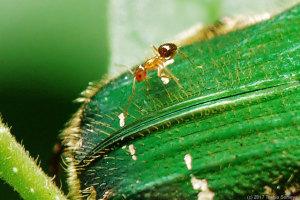 アオハナムグリと小さなアリ