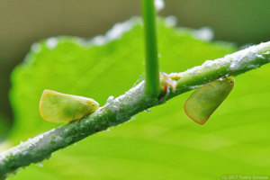アオバハゴロモ成虫