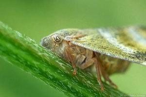 ベッコウハゴロモ成虫の目
