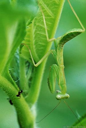 ハラビロカマキリ幼虫とアリ