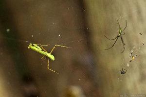 蜘蛛の網に掛かったハラビロカマキリ幼虫