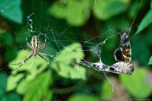 蜘蛛の網に掛かったニイニイゼミ