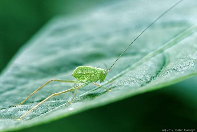 ヒメクダマキモドキの幼虫