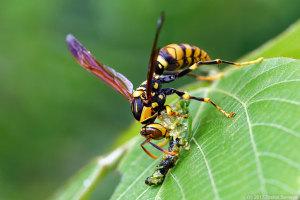 捕食中のキアシナガバチ