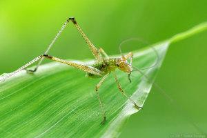 アシグロツユムシの幼虫