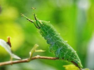アカボシゴマダラ幼虫
