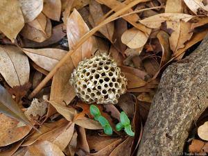 地表に落ちたアシナガバチの巣