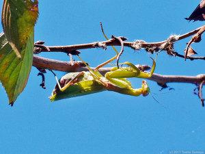 産卵間近なハラビロカマキリ雌