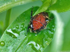 コアオハナムグリの雨宿り
