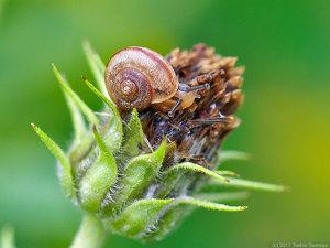 キクイモの花に止まるカタツムリ