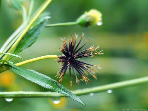 コセンダングサのヒッツキ虫