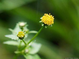 コセンダングサの花