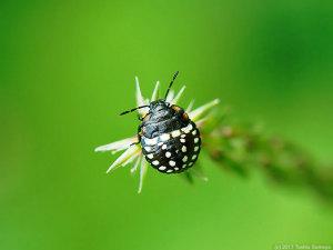 アオクサカメムシ幼虫