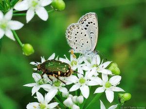 ニラの花にいたヤマトシジミとコアオハナムグリ
